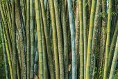 foto of bamboo forest  - Close up big fresh bamboo grove in green color at Thailand forest - JPG