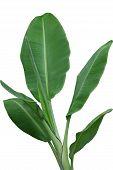 picture of banana tree  - Musa acuminata sumatrana banana leaves plant isolated on white background - JPG