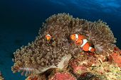 Clownfish (Nemo fish)