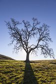 Leafless California White Oak silhouette.