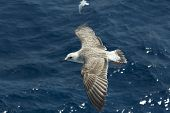 gull with wings spread in flight over the sea