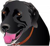 Black Labrador profile