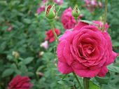 Beautiful Rose Bud Against The Dark Leaves