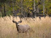 stock photo of mule  - A large mule deer buck standing in a meadow with aspen trees in the background in Rocky Mountain National Park near Estes Park Colorado