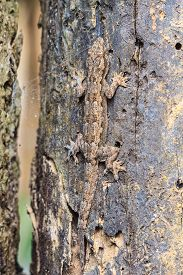 pic of hemidactylus  - close up House small lizard on the tree