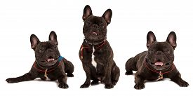 image of bulldog  - Several dogs breed french bulldog on white background - JPG