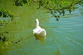 foto of duck pond  - back view of a white duck swimming in a green pond - JPG