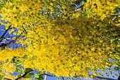 pic of vishu  - Flower of Golden Shower Tree Thai National Flower - JPG