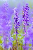 foto of salvia  - Blue Salvia farinacea flowers blooming in the garden - JPG