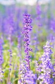 picture of salvia  - Beautiful spring background with Salvia farinacea Benth - JPG