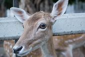 picture of jousting  - the deer Looking for Food With hunger - JPG