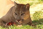 picture of cougar  - cougar eating meat  - JPG