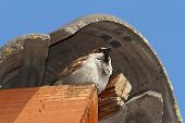 stock photo of defender  - male house sparrow defending his nest on the roof tiles  - JPG