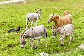 stock photo of donkey  - donkeys and horses - JPG
