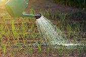 image of spray can  - Close up of water can spraying water on young onion in vegetable garden - JPG
