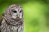 stock photo of owls  - Portrait of Barred Owl  - JPG