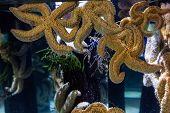 picture of starfish  - Big starfish floating in tank at the aquarium - JPG
