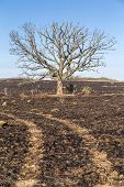 image of prairie  - A large oak tree although bare still stands following a prairie fire  - JPG