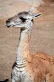 picture of lamas  - Guanacoes  - JPG