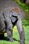 image of herbivores  - Gorilla constitute the eponymous genus Gorilla - JPG