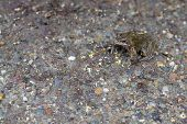 stock photo of camouflage  - Frog camouflaged against a stoney ground background - JPG