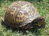 Box Turtle In Grass