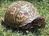 Box Turtle In Grass