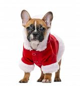 picture of french bulldog puppy  - French bulldog puppy wearing a Santa coat in front of a white background - JPG