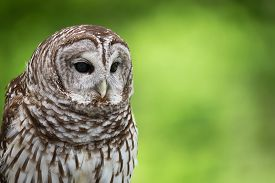stock photo of owl eyes  - Portrait of Barred Owl  - JPG