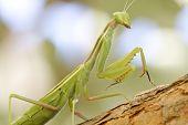 Praying mantis Climbing tree