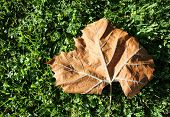 Brown Fallen Leaf