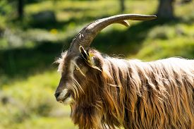 foto of goat horns  - Brown and white billy goat with long fur and horns - JPG