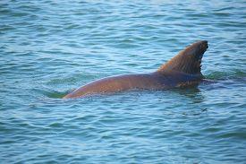 pic of bottlenose dolphin  - Common bottlenose dolphin showing dorsal fin near Sanibel island in Florida - JPG