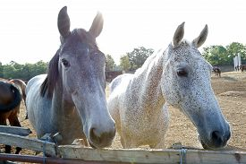 picture of big horse  - Two big horses looking over the fence - JPG