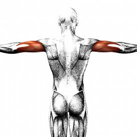 picture of triceps brachii  - Concept or conceptual 3D triceps human anatomy or anatomical and muscle sketch isolated on white background - JPG