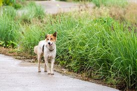 foto of seeing eye dog  - on an open road waiks an street dog side of the road - JPG