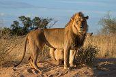 Afrikanischen Löwen