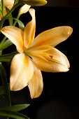 picture of asiatic lily  - Elegant yellow lily close - JPG