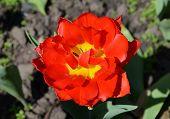 Постер, плакат: Red spring tulip