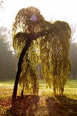 stock photo of weeping willow tree  - japan weeping willow taken in monza park - JPG