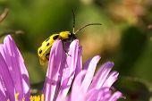 Spotted Cucumber Beetle (diabrotica Undecimpunctata Howardi)