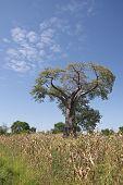 A Baobab Tree (kremetart), Adansonia Digitata, Malawi.
