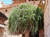 Rubus Sanctus, The Burning Bush In, Sinai, Egypt.