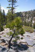 Pine tree on top of Devils Postpile