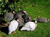 Guinea Fowl In The Garden