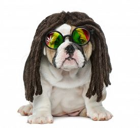 image of dreadlock  - English bulldog puppy wearing a dreadlocks wig and glasses in front of white background - JPG