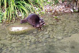 stock photo of raccoon  - Raccoon - JPG