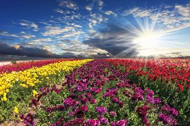 picture of buttercup  -  The bright spring sun illuminates field of agriculture in Israel - JPG