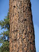 Tronco de pino Ponderosa