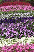 picture of beautiful flower  - Flower garden with a variety of colored flowers - JPG